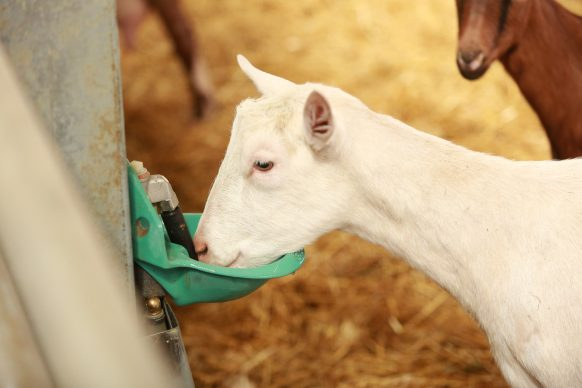 Dairy goat drinking water from bowl