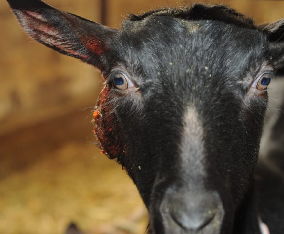 Preventing and controlling Caseous Lymphadenitis (CL) – Ontario Goat